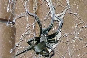 Aconsejan tener cuidado por presencia de aranas rinconeras